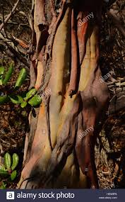 plant native the beautiful red bark of the mission manzanita plant native to