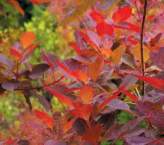 smokebush cotinus u0027grace u0027 colorful foliage year round but