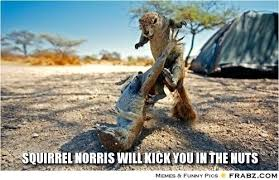 Squirrel Nuts Meme - random images squirrel norris will kick you in the nuts wallpaper