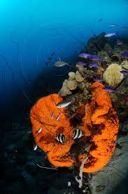 Azure Vase Sponge Facts Coral Reef Photos Sponges