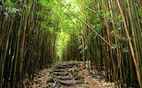 Hawaii forest images Bamboo forest along the pipiwai trail photo by megan maui jpg