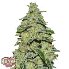 wedding cake kush wedding cake strain wedding cake strain grow lemon cake feminized