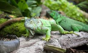 imágenes de iguanas verdes iguana verde hogarmania
