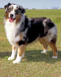 australian shepherd youtube herding akc meet the breeds australian shepherd martha stewart
