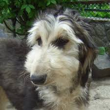 afghan hound poodle cross afghan poodle mix dog pictures to pin on pinterest pinsdaddy