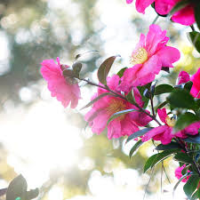camellia flowers camellia flowers jeju tourism organization s travel