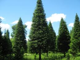 30 foot tree plantation re enos