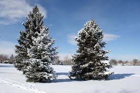 pine trees in the snow picture free photograph photos