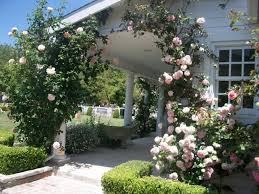 soft pink climbing roses for classic home design using minimalist