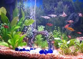 information about ornamental fish types and