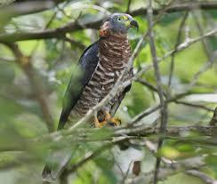 Canopy Birds by Hook Billed Kite Audubon Field Guide