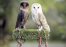 Where Does The Barn Owl Live Pictured The 100 000 To One Black Barn Owl Daily Mail Online
