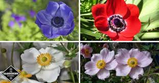 anemone flowers how to grow anemone flowers gardening channel