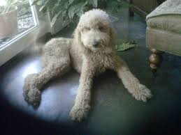 haircutsfordogs poodlemix my standard poodle dolly animals pinterest standard