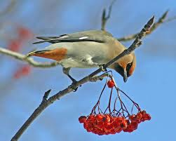 attracting orioles to your yard with mast producing trees mast