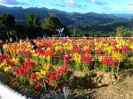 flowers garden city sirao garden celosia flower farm cebu philippines travel