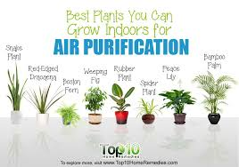 plants indoors 10 best plants you can grow indoors for air purification top 10