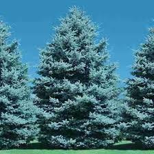 blue spruce blue spruce 1 2 4 5 yr direct gardening