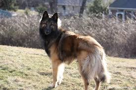 belgian sheepdog puppies price belgian tervuren breeders in the united states puppies for