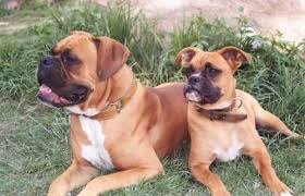 boxer dog yorkshire yorkshire terrier dog breed photos information