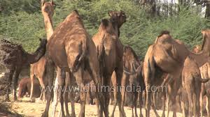 thar desert animals indian camels of the salt desert youtube