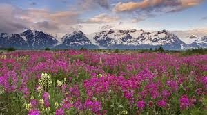 canada flowers field columbia snow valley canada flowers fields