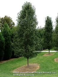 pear cleveland select gossetts landscape nursery inc