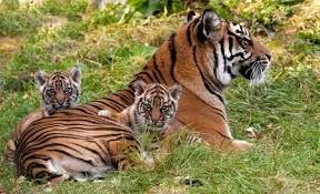 two tiger cubs born in kent