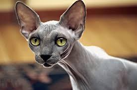 Fabuloso 6 Curiosidades sobre gatos calvos Sphynx - Universo de Gatos Blog #SB26