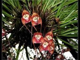 monkey flowers monkey flower images