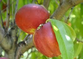 Ackee Fruit Tree - estimated yield for fruit trees stark bro u0027s
