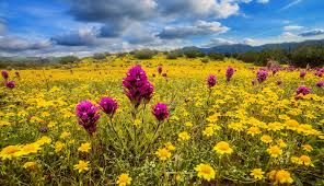 Flower Field Wallpaper - flowers meadow field flowers sky flower landscape wildflowers