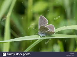 small blue butterfly cupido minimus sitting on a blade of grass