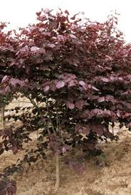 Good Backyard Trees by 72 Best Small To Mid Size Trees Images On Pinterest Shrubs