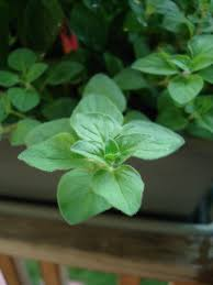information on growing oregano indoors