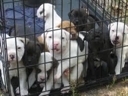 american pitbull terrier kennels in michigan american pit bull terrier puppies for sale