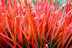 japanese bloodgrass the lovely plants
