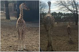 Six Flags October 3 Baby Giraffes Born In 6 Months At Six Flags Great Adventure Nj Com