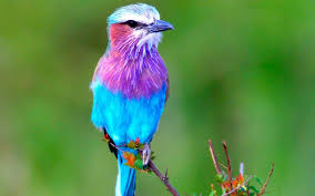 bird wallpapers a beautiful lilac breasted roller bird wallpaper hd wallpapers