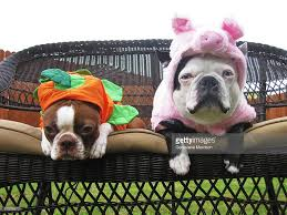 Halloween Costumes English Bulldogs Boston Terriers Halloween Costumes Stock Photo Getty Images