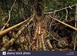 living root bridge stock photos u0026 living root bridge stock images