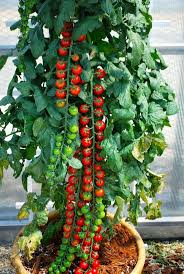 best 25 tomato garden ideas on pinterest growing tomatoes
