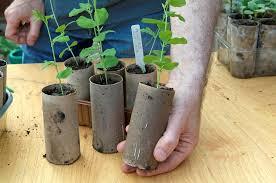 Container Gardening Peas - sow sweet pea seeds in pictures gardenersworld com