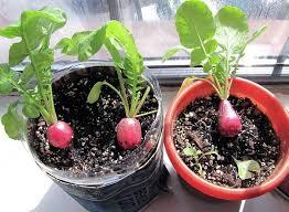 Indoor Container Gardening - best vegetables for indoor container gardening ideas home