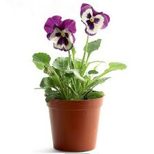 potted flowers 200pcs lot color mixing pansy seeds small butterfly cat seed