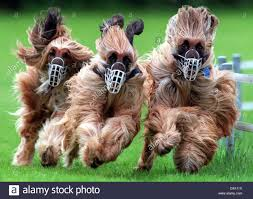 afghan hound attack nahar stock photos u0026 nahar stock images alamy