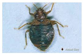 Bean Leaves Bed Bugs Pin By Forklifttrain On Bed Bug Bites Pinterest Bed Bugs Bites