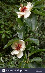 centered white flowers of the hardy small ornamental