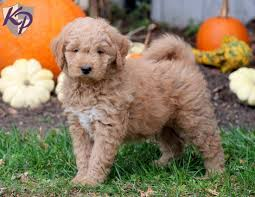 goldendoodle u2013 miniature u2022 keystone puppies puppies for sale in pa
