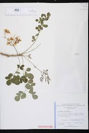 native plants of india moringa oleifera species page isb atlas of florida plants